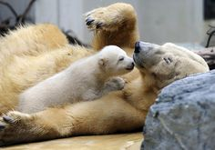 Polar bear cub with mother at zoo in Germany by Marius Becker/EPA