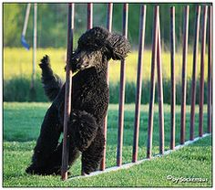 A poodle doing agility...I want to get Darla into this!