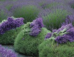 Tips on Growing Lavender.  Lavenders will thrive in most soils keeping these factors in mind: They need good drainage. Banks or slopes are great places for lavenders or if in flat places, create mounds. They like full sun. Gritty or sandy loam is best, but lavenders will do well in clay if the site is amended with sand & lime or bone meal to increase pH level. Pruning is critical! Plants must be pruned ½ to 2/3's of the growth, preferably in the fall.