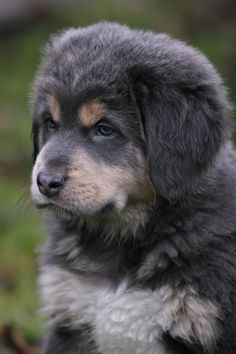 Mr. Blue pup - Tibetan Mastiff by SaNNaS