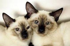 gatos siameses - Pesquisa Google