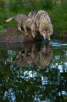 """adult wolf + pup 