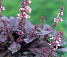 Heirloom Opal Basil Purple Leaf Basil Herb Garden 25 par CheapSeeds, $1.99
