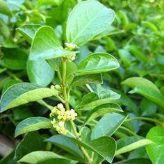 Gymnema Sylvestre Health Benefits – Herbal Remedy for Diabetes Healing Herbs, Medicinal Plants, Herbal Remedies, Natural Remedies, Chinese Herbs, Diabetes Remedies, Growing Herbs, Health Articles