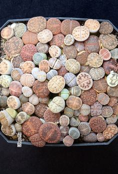 Lithops occur naturally across wide areas of Namibia and South Africa, as well as small bordering areas in Botswana and possibly Angola, from sea level to high mountains. Succulent Gardening, Succulent Terrarium, Planting Succulents, Cool Plants, Air Plants, Garden Plants, Cool Succulents, Growing Succulents, Stone Plant