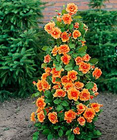 Fountain Rose 'Orange Velvet' | Roses from Spalding Bulb