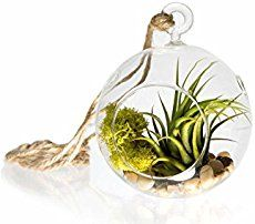 How to Revive a Sick Air Plant - Garden Therapy