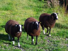 Balwen Welsh Mountain sheep is originated from the small area of Wales - the Tywi valley. The sheep are raised mainly for meat production. Ewe Sheep, Tough Mother, Natural Farming, Sheep Breeds, Baa Baa, Black Sheep, Small Breed, Thoroughbred, Livestock