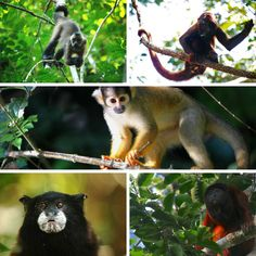 Are YOU keen on getting hands-on experience with primate research and conservation?! Why not join us and gain valuable experience at our volunteer project in the Amazon of Peru! See link