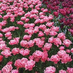 So many pretty #tulips today
