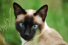 The Siamese cat has been one of the more popular Oriental pets to have in the home for many years. Stories of where the cat actually originates from can be ...