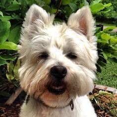 Ewok face. #westie #westy #westhighlandwhiteterrier #terrier #westhighland #dog #katanddog #ewok