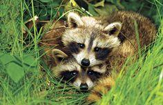 <3 raccoons