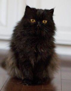 Jackson Galaxy On Cat Pee Cat Pee Russian Blue Cat Cats
