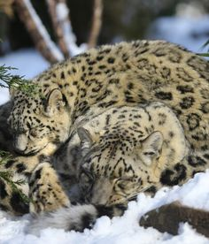 Mommy and baby snow leopards sleeping in enclosure in Central Park Zoo on Friday, Jan. Baby Snow Leopard, Leopards, Animals Images, Central Park, Big Cats, Animals Beautiful, Lions, Creatures, Kitty Kitty
