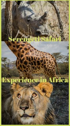 Serengeti Safari Experience in Africa. This park is Tanzania's most beloved game reserve and the place people dream of when they conjure up thoughts of Africa. As part of our overland trip through Africa, we were given the option for a 3 day safari that would involve stops at Lake Manyara, Ngorongoro Crater and the Serengeti. Click to read the full adventure travel blog post at http://www.divergenttravelers.com/serengeti-safari-africa/