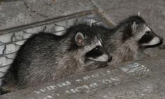 raccoons -photo by Shanna Whiteley