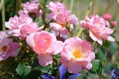 The Peachy Keen™ Rose