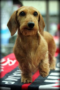 WIREHAIRED DACHSUND I want this dog!!!!!