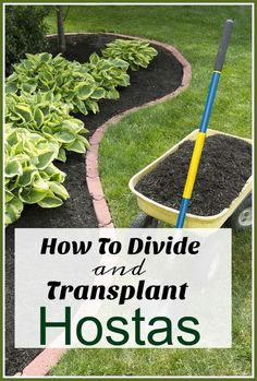 How To Divide & Transplant Hostas - Separating large hosta plants is the perfect way to get free plants for your garden, but the trick is knowing how to divide and transplant hostas correctly! gardening tips, growing hostas, budget gardening Hosta Plants, Shade Plants, Transplanting Plants, Houseplants, Garden Yard Ideas, Lawn And Garden, Garden Mulch, Garden Projects, Herb Garden