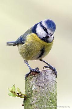 Blue tit Cyanistes caeruleus Paridae by peterjbailey, via Flickr