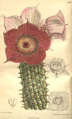 Hoodia currori. Curtis's botanical magazine v.133 [ser.4:v.3] (1907) London ;New York [etc.] :Academic Press [etc.] Biodiversitylibrary. Biodivlibrary. BHL. Biodiversity Heritage Library
