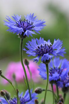 Find useful gardening tips and articles at http://www.thebloomingoasis.com  Blue Cornflower