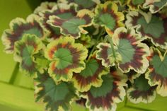 """Geranium Mrs. Pollock--Stunning yellow, red and green leaves with orange flowers.    Best in full to part sun in mixed baskets and containers.  Plant Details:  Type: Annual  Height:Up to  12"""" Spread:Up to  6"""" Flower: OrangePerfect for single variety pots or mixed with trailing accents."""