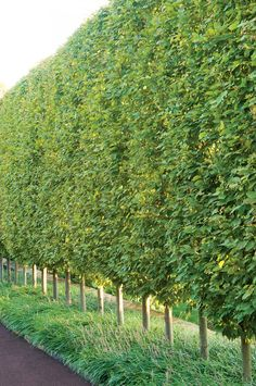 A sheared fastigiate European hornbeam hedge (under-planted with liriope) lines a driveway