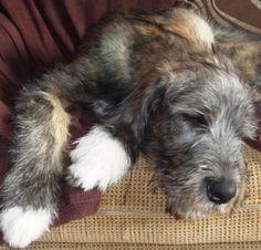 Sleeping beauty! Irish Wolfhound