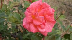 Photobucket - Pinkish Rose