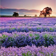 Beautiful lavender cmathur