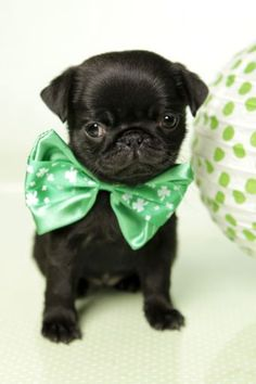 Cute Black Pug Puppy Happy St. Patrick's Day! https://www.facebook.com/europugs