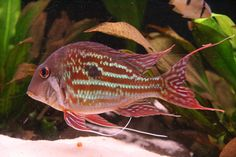 """Geophagus Winemilleri - ~8"""" South American Eartheater Cichlid, peaceful, previously known as 'stripetail' or 'rio negro I'"""
