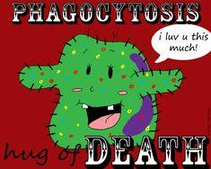 Phagocytosis in a nutshell