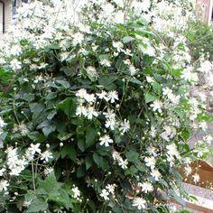 Skogsklematis, Clematis vitalba 'Summer Snow' ('Paul Farges') | Zon 5. Starkväxande klematis med en överdådig blomning av vita, små (3-4 cm), doftande blommor som följs av vackra fröställningar. Täcker snabbt stora ytor. Lättodlad. Sol-halvskugga. Planteras vid murar, staket, träd, buskar, byggnader. Planterad vid träd kan den växa fritt. Klematis vill ha skuggigt och svalt längst ner på stammarna. Plantera perenner där el lägg några stenar som skydd. Skydda rothalsen mot vårsol. 4-6 m. Perennial Garden Plans, Snow In Summer, Heuchera, White Gardens, Diy Pergola, Flower Beds, Garden Planning, Garden Paths, Trees To Plant