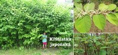 Křídlatka japonská - účinky na zdraví, použití, využití, užívání, pěstování - Bylinky pro všechny