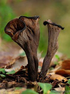 Horn of Plenty (Craterellus cornucopioides) ~ By Javier  Fuentes