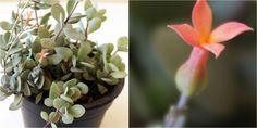 La suculenta de abundante floración que todo el mundo quiere