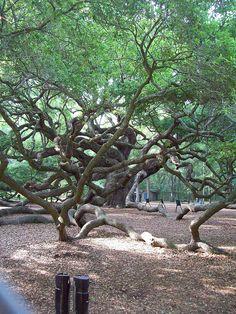 """""""Angel Oak"""". 500 year old 'live oak' tree near Charleston SC"""
