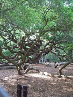 """Angel Oak"". 500 year old 'live oak' tree near Charleston SC"
