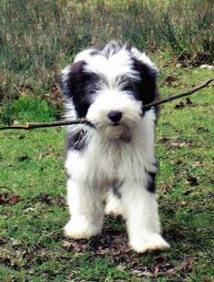 Bearded Collie Puppies for Sale | Pets Corner - Bearded Collies ...