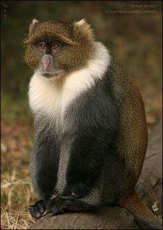 Redtail Monkey, Kenya
