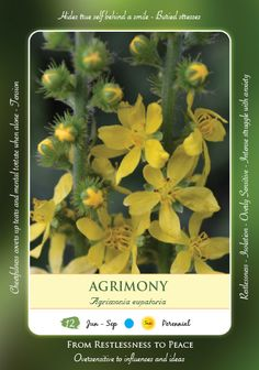 "AGRIMONY Essence is made from this flower. EMOGI - ""Oversensitive to Influences and Ideas"". Agrimony types suffer from Restlesness, Tension, Inner-torment, struggle with anxieties. They hide their emotions behind a cheerful smile. They often resort to alcohol, food or drugs etc. to keep their minds off their worries. Peace keepers who cannot face confrontation. They put on a brave face to hide their pain. Agrimony Essence promotes self care, brings physical and mental ease inner joyfulness."