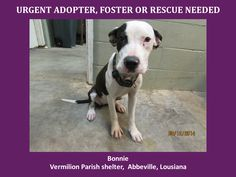 ***SUPER URGENT!!!*** - PLEASE SAVE BONNIE!! - EU DATE: 8/17/2014 -- bonnie  Breed: Pit Bull Terrier (mix breed) Age: Young adult Gender: Female  Size: Large,  -  please contact us at animalaidvermilion@gmail.com or (337) 366-0212 or visit our website animalaidvermilionarea.com for more information