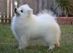 Shanspitz Kennels - Breeder of Japanese Spitz Miniature American Eskimo, American Eskimo Puppy, Beautiful Dogs, Animals Beautiful, Cute Animals, White Puppies, Dogs And Puppies, I Love Dogs, Cute Dogs