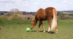 6 Horse Toys That Can Help Alleviate Boredom in the Stall-Bound Horse http://www.wideopenpets.com/6-horse-toys-your-horse-wont-be-able-to-resist/