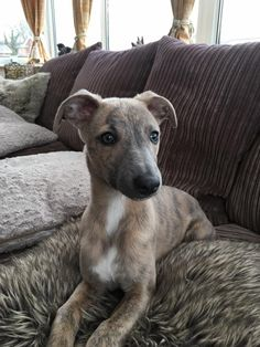 What a lovely little thing ❤️ Greyhound PUPPY! Perro Whippet, Whippet Puppies, Whippets, Corgi Puppies, Cute Puppies, Cute Dogs, Dogs And Puppies, Funny Dogs, Doggies