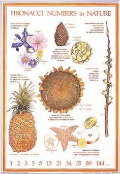 {Fibonacci Numbers in Nature} Fibonacci Golden Ratio, Fibonacci Spiral, Maths In Nature, Divine Proportion, Math Art, Nature Posters, Homeschool Math, Nature Study, Nature Journal