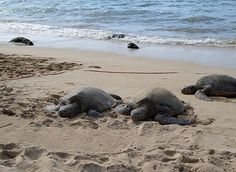 Sea Turtles at Topsail Island, NC, coming in to nest. Can't wait to see ole Dare!! @Jessie Flake  wish you were coming!!